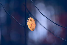Lone dry yellow leaf on a branch Stock Images