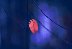 Lone dryred  leaf on a branch Royalty Free Stock Images