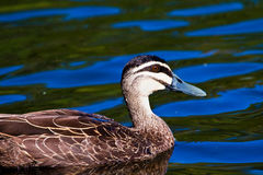 Lone Duck. A close up of a duck swimming alone in a pond Royalty Free Stock Photo