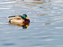 Lone duck on the lake Royalty Free Stock Photography
