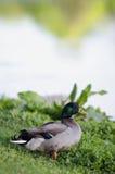 Lone Duck Overlooking Lake. Mallard Duck set against the lake Stock Photos