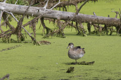 Lone duck in swamp. A duck is perched in a swamp area Royalty Free Stock Photos