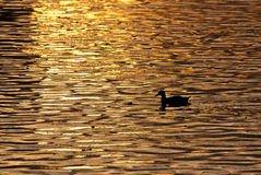 Lone Duck Swimming Across Golden Pond at Sunset. Lone Mallard Duck Swimming Across Golden Pond at Sunset Royalty Free Stock Photography