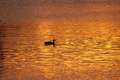 Lone Duck Swimming Across Golden Pond at Sunset. Lone Mallard Duck Swimming Across Golden Pond at Sunset Stock Image