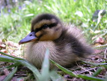 A lone duckling 1 Royalty Free Stock Photos