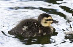 Lone Duckling Royalty Free Stock Photography