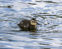 Lone Duckling Royalty Free Stock Images