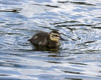 lone duckling Royaltyfria Bilder