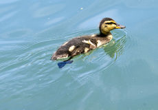 Lone Duckling in Lake Stock Images