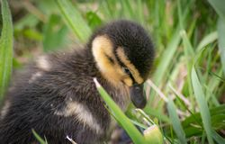 Cute Duckling In Grass stock photography