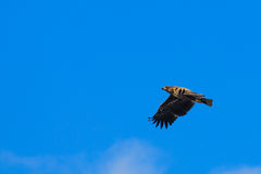 Lone eagle. Crusing on blue sky chcking if there is some prey around Stock Photo