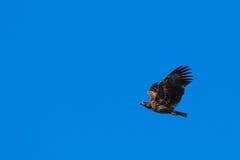 Lone eagle Stock Photo