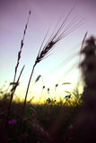 Lone ear at sunset. Lone spike at sunset in summer field Royalty Free Stock Images