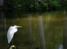 Lone egret. Lone white egret beside lake, reflecting palm trunks in water, in tropical garden near Sarasota, Florida royalty free stock photo