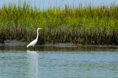Lone Egret Royalty Free Stock Images