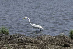 Lone Egret in the Water. A lone Egret walking through the water Royalty Free Stock Photo
