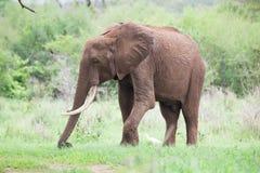 lone elefant Fotografering för Bildbyråer