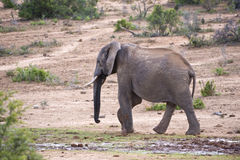 Lone Elephant Stock Photo