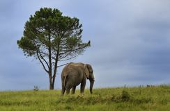 Lone Elephant Royalty Free Stock Photo