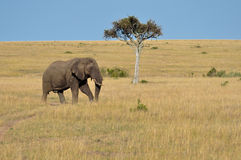 Lone Elephant Stock Images