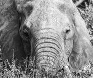 Lone Elephant Black And White Tsavo West National Park Kenya Africa stock images