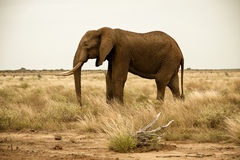 Lone elephant bull in scrubland Stock Images