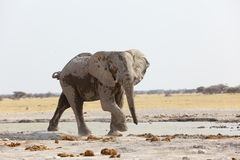 Lone Elephant Bull at the waterhole Royalty Free Stock Image