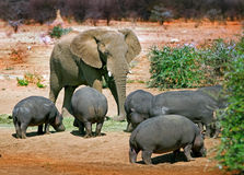A lone Elephant chasing away a pod of hippo's Royalty Free Stock Image