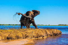 Lone elephant clean river silt Stock Image
