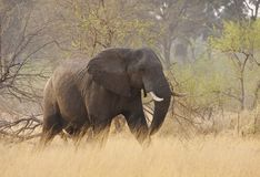 Lone Elephant on a mission Royalty Free Stock Image