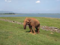 A lone elephant standing near a wire that blocks him from the road. On the shore of a lake, on the opposite Bank of which an entire herd of elephants is Royalty Free Stock Photography