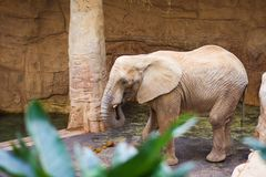 Lone elephant by the tree stock image