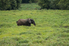 A lone elephant tries to hide in the grass ( Republic of the Congo). A lone elephant tries to hide in the grass on the bank of the river (Nouabal-Ndoki National royalty free stock photos