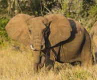 Lone Elephant Tsavo West National Park Kenya Africa stock photo