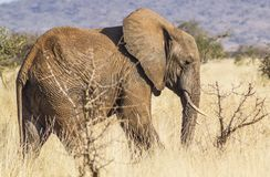 Lone Elephant Tsavo West National Park Kenya Africa stock photos