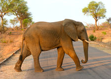 Lone elephant walking across a road. In Kruger National Park in South Africa with the warm glow of the afternoon light Royalty Free Stock Images