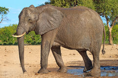 A lone elephant walking next to a waterhole in Hwnage National Park Royalty Free Stock Photos