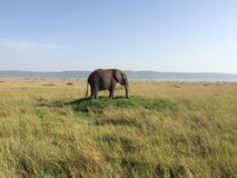 The Lone Elephant. A young elephant enjoys eating lush, green grass all by himself in the Masa Mara Royalty Free Stock Images
