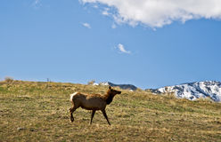 Lone Elk Stock Photo