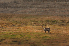 Lone Elk in Field Stock Photography
