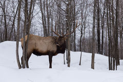 A lone Elk in a forest Stock Photography