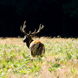 Lone Elk at Sunset Royalty Free Stock Photos