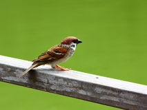 Lone Eurasian Tree Sparrow looking out Stock Photography
