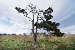 Lone evergreen tree Stock Images
