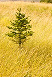 Lone evergreen tree in a field Stock Image