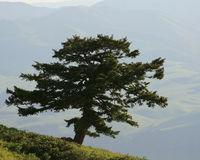 Lone Evergreen Tree on Mountain with Distant Farml Stock Photo