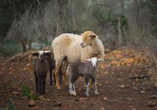 Sheep and Lambs. Born in winter. Lone ewe with lamb from a sheep flock in Turkey in olive grove landscape royalty free stock images