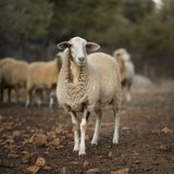Sheep Flock in Turkey. Lone ewe from a sheep flock in Turkey in arid landscape stock photos