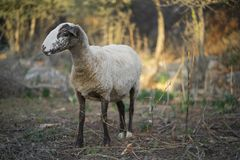 Sheep Flock in Turkey. Lone ewe from a sheep flock in Turkey in arid landscape stock photography
