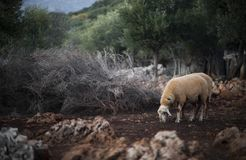 Sheep Flock in Turkey. Lone ewe from a sheep flock in Turkey in arid landscape royalty free stock photography